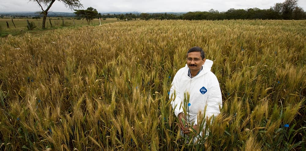 CIMMYT distinguished scientist Ravi Singh conducts research on a wheat field while. (Photo: BGRI)