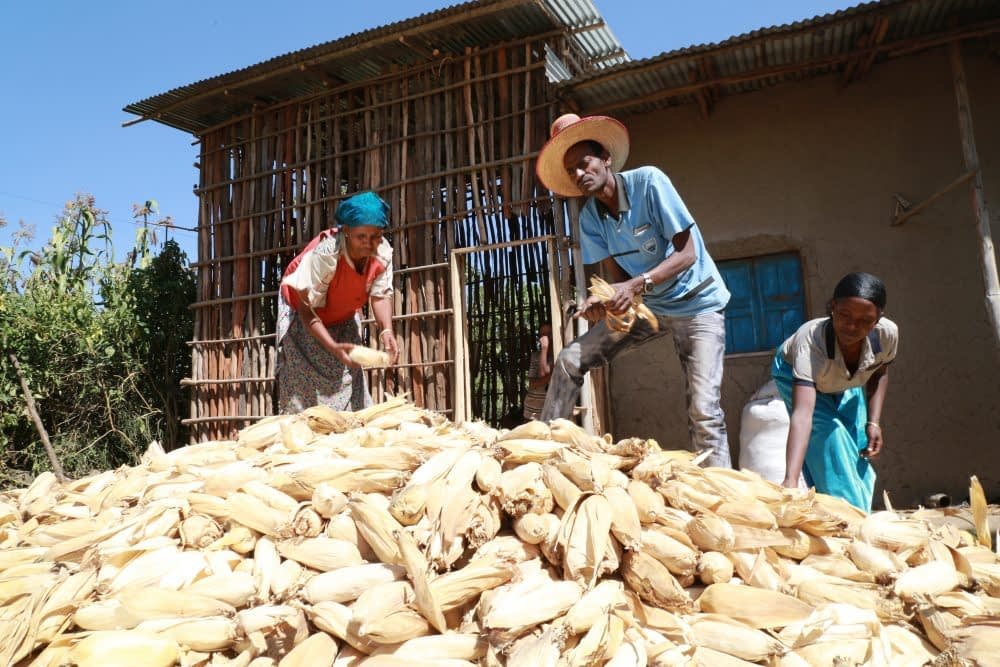Farmers are using maize and wheat varieties suitable for drought-affected areas and resistant to prevalent crop diseases. Photo: CIMMYT/A.Habtamu