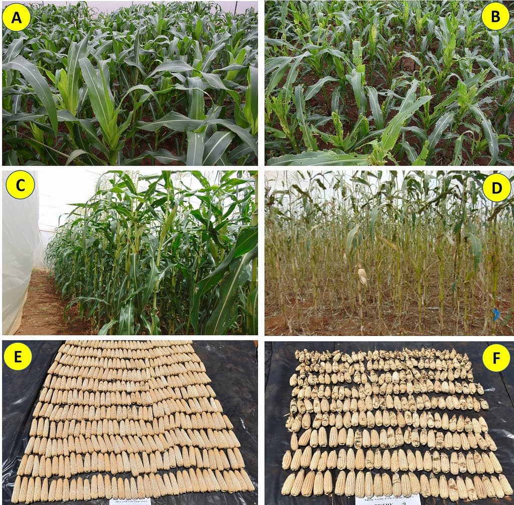 """Figure 1. Responses of CIMMYT-derived fall armyworm tolerant hybrids versus susceptible commercial checks at the vegetative stage (A & B) and at reproductive stage (C & D), respectively, after fall armyworm artificial infestation under """"no choice"""" trial in screenhouses at Kiboko, Kenya. Note the difference in the harvest of a FAWTH hybrid (E) versus one of the commercial susceptible hybrid checks (F), besides the extent of damage caused by fall armyworm to the ears of the susceptible check (visible as blackish spots with no grains in the ears)."""