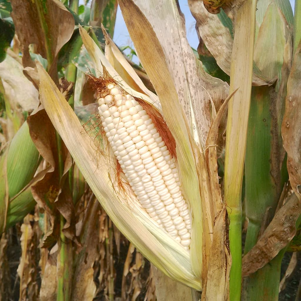A maize cob in La Libertad, El Salvador, shows kernels affected by tar spot complex which have not filled completely (Photo: Nele Verhulst/CIMMYT)
