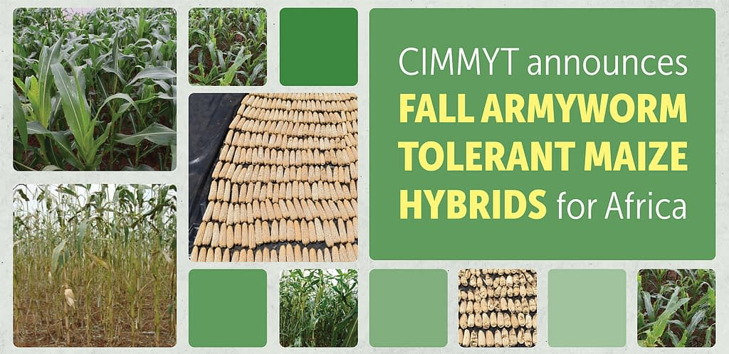 A collage of maize images accompanies a CIMMYT announcement about fall armyworm-tolerant maize hybrids for Africa.