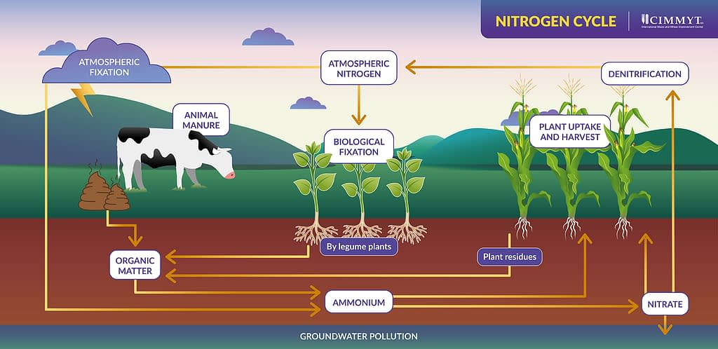 A diagram shows the process through which nitrogen moves from the atmosphere to earth, through soils and is released back into the atmosphere – converting in and out of its organic and inorganic forms. (Graphic: Nancy Valtierra/CIMMYT)