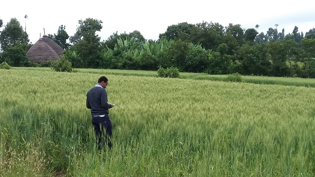 One of the researchers behind the study, Yoseph Alemayehu, carries out a field survey in Ethiopia by mobile phone. (Photo Dave Hodson/CIMMYT)