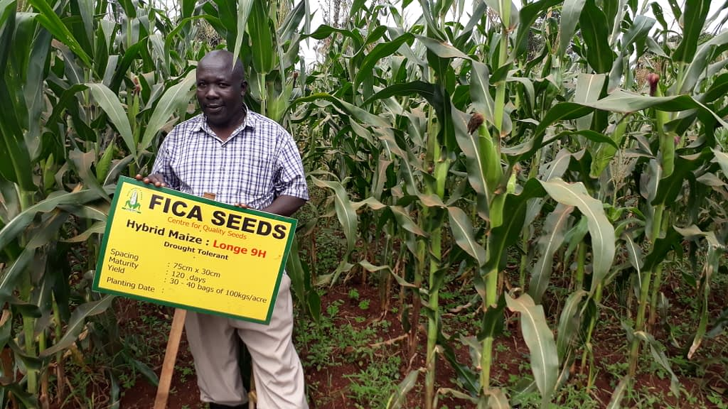 A FICA representative stands in front of a demonstration plot for one of the organization's stress-tolerant maize varieties in Uganda. (Photo: Mosisa Worku/CIMMYT)