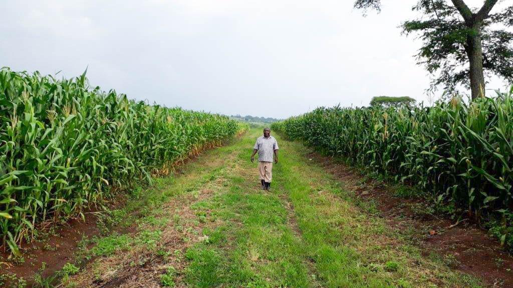 A FICA employee walks through a seed production field growing hybrid maize variety WE2114 in Masindi, Uganda. (Photo: Joshua Masinde/CIMMYT)