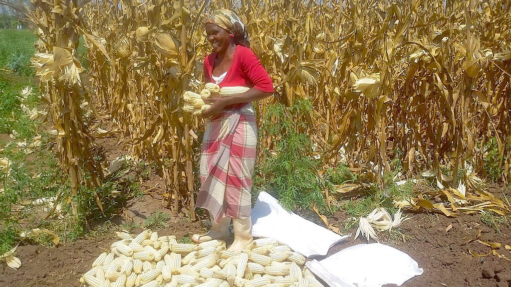 A farmer in Mozambique stands for a photograph next to her drought-tolerant maize harvest. (Photo: CIMMYT)