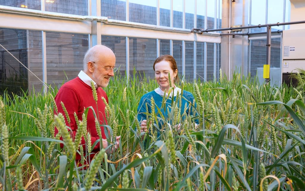 Alison Bentley (right) and Martin Jones inspect wheat in a glasshouse. (Photo: Toby Smith/Gloknos)