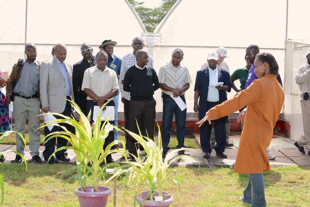 CIMMYT technician Janet Kimunye (right) shows visitors a plant with MLN symptoms at the MLN screening facility in Naivasha, Kenya. (Photo: CIMMYT)