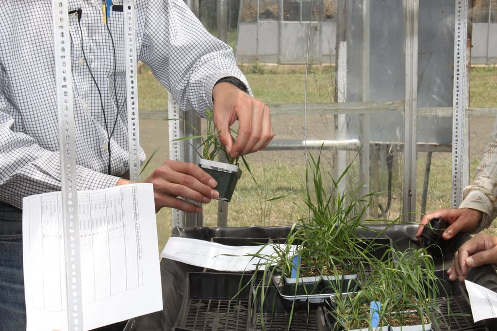 Matthew Rouse shows how to score wheat seedlings for stem rust resistance, at the Njoro research station in Kenya in 2009. (Photo: Petr Kosina/CIMMYT)