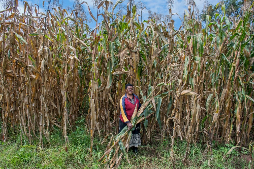 Florence Ochieng harvests green maize on her 105-acre family farm near Kitale, Kenya. (Photo: P. Lowe/CIMMYT)