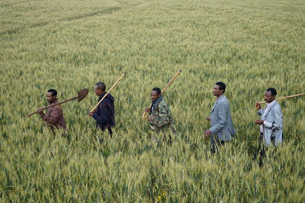 Farmers walk through a wheat field in Lemo district, Ethiopia. (Photo: P. Lowe/CIMMYT)