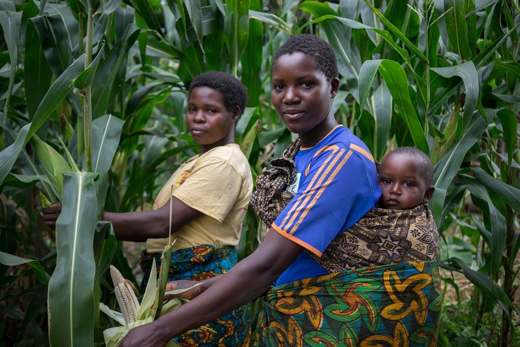 Ruth Andrea (left) and Maliamu Joni harvest cobs of drought-tolerant maize in Idakumbi, Mbeya, Tanzania. (Photo: Peter Lowe/CIMMYT)