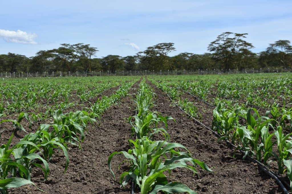 Maize plants at the MLN screening facility in Naivasha, Kenya. (Photo: Jennifer Johnson/CIMMYT)