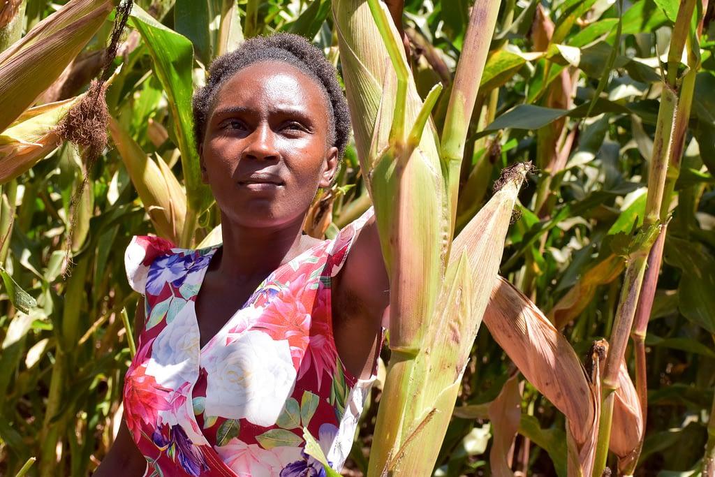 Nancy Wawira examines maize in one of the demo plots. (Photo: Joshua Masinde/CIMMYT)