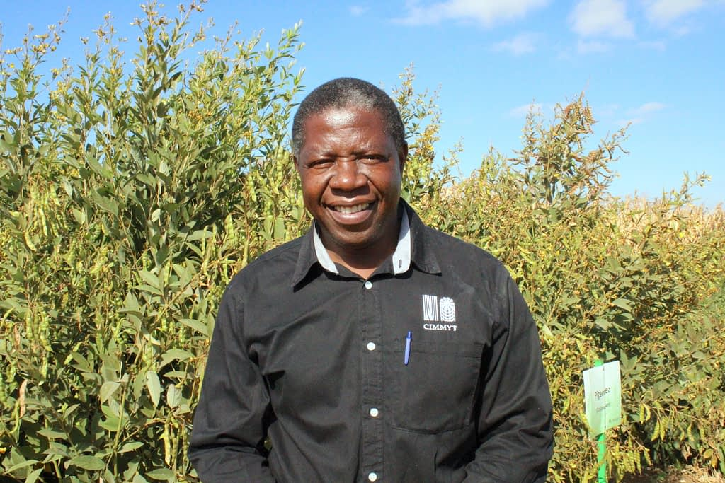 Isaiah Nyagumbo stands next to a field of maize and pigeon pea. Currently, Nyagumbo's research seeks to better understand the resilience benefits of cereal-legume cropping systems and how different planting configurations can help to improve system productivity. (Photo: CIMMYT)