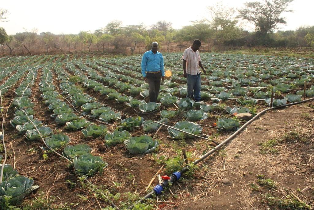 Thomas Chikwiramadara and Christopher Chinhimbiti walk through their shared cabbage crop in Nyanga, Zimbabwe. (Photo: Shiela Chikulo/CIMMYT)