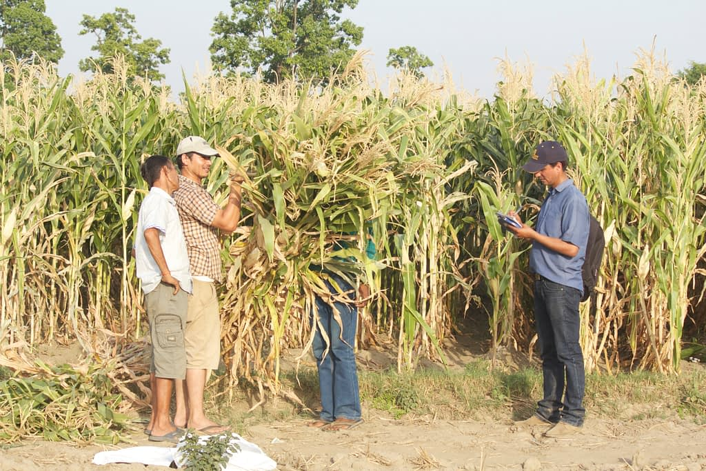 Gokul Paudel records the total above-ground biomass of maize and other maize yield attributes in a farmer's field in Kanchunpur, Nepal. (Photo: Ashok Rai/CIMMYT)