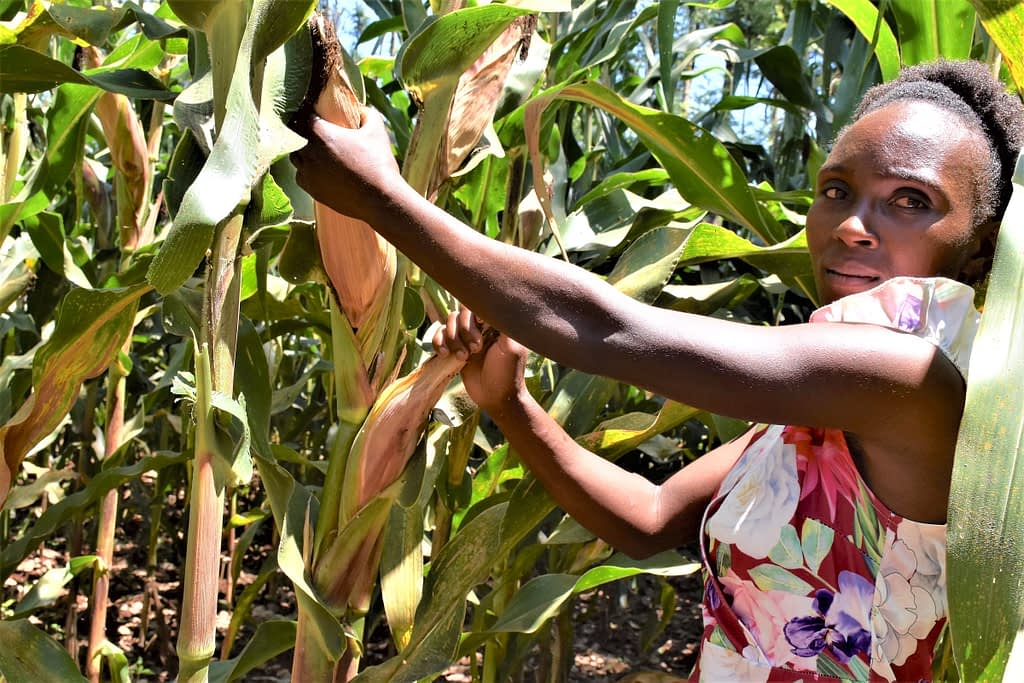 Nancy Wawira stands among ripening maize cobs of high yielding, drought-tolerant maize varieties on a demonstration farm in Embu County, Kenya. Involving young people like Wawira helps to accelerate the adoption of improved stress-tolerant maize varieties. (Photo: Joshua Masinde/CIMMYT)