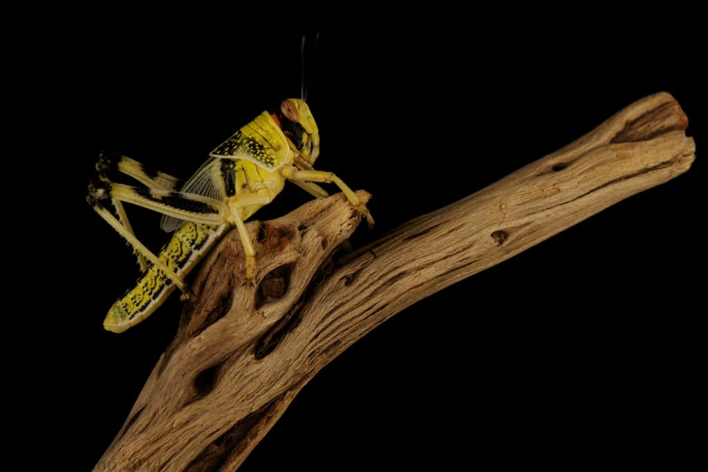 The desert locust has been around since biblical times. Climate change has contributed to its reemergence as a major pest. (Photo: David Nunn)