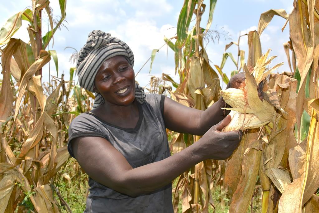 Alinda Sarah shows a maize cob due for harvest on the farm she owns with her husband in Masindi, mid-western Uganda. (Photo: Joshua Masinde/CIMMYT)