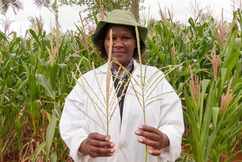 A researcher holds two plants to show the pollen-producing (left) and non-pollen producing plants (right) at a research station in Embu, Kenya. (Photo: Hugo De Groote/CIMMYT)