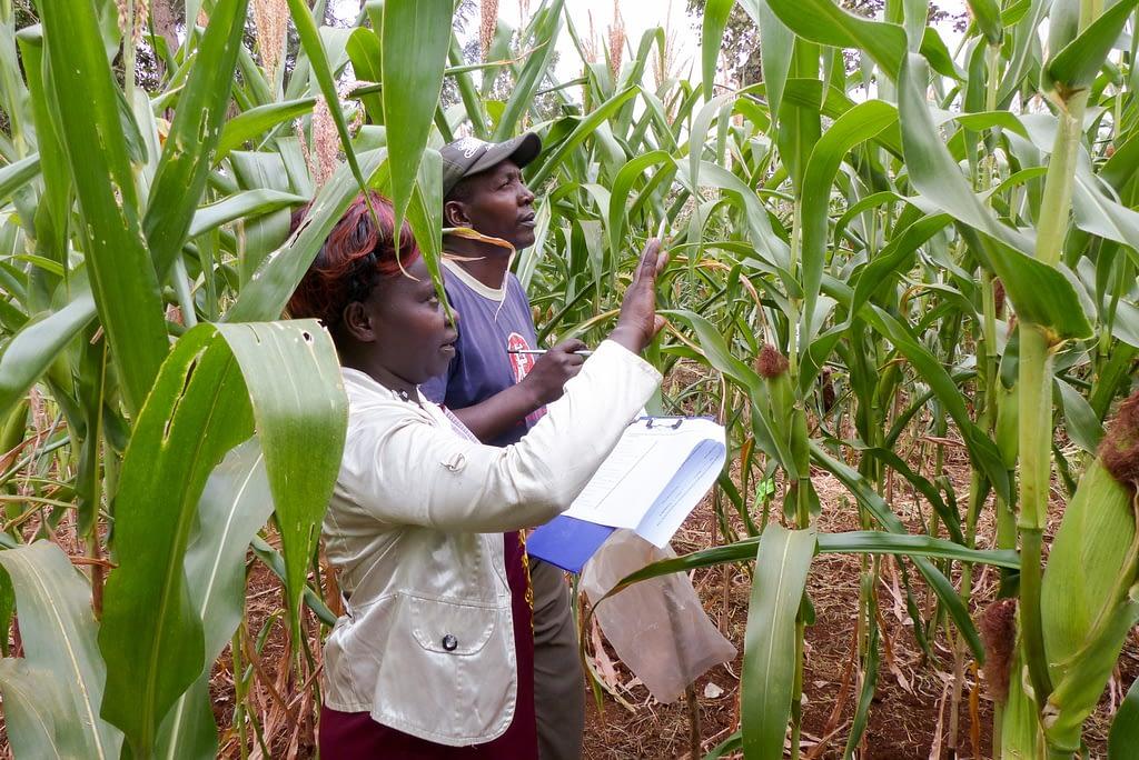 Two smallholder farmers evaluate Ms44 hybrids during an on-farm evaluation in Embu, Kenya. (Photo: Hugo De Groote/CIMMYT)