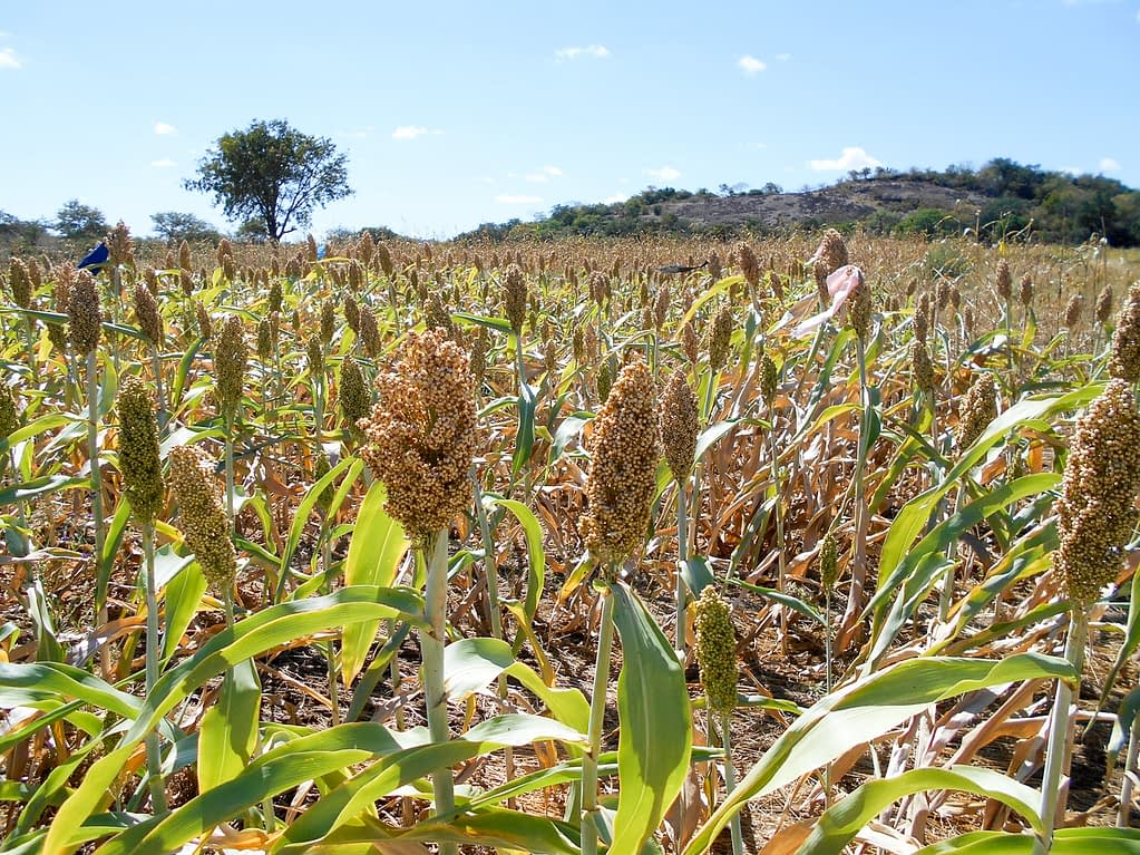 Promising high yields of white sorghum on a field in the mother trials in Mwenezi, Zimbabwe.