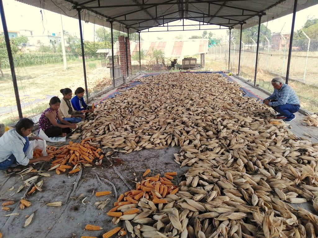Lumbini Seeds staff sorts cobs of hybrid seed. (Photo: Lumbini Seeds)