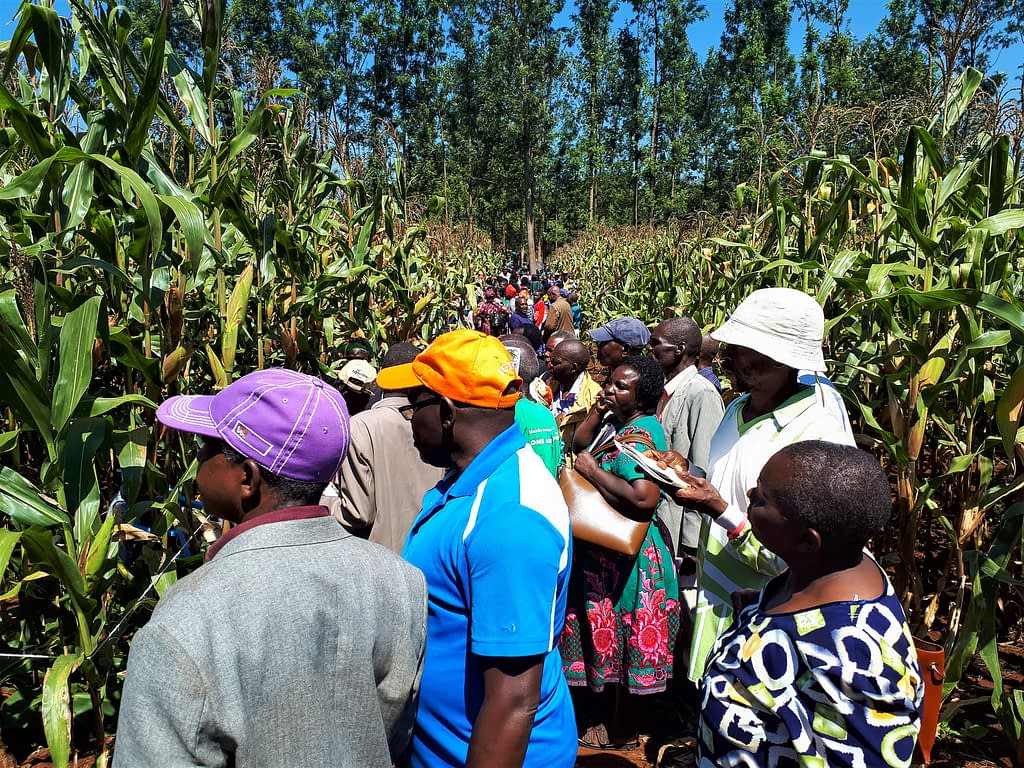 Some of the farmers who participated in the field day in Embu County, Kenya. (Photo: Joshua Masinde/CIMMYT)