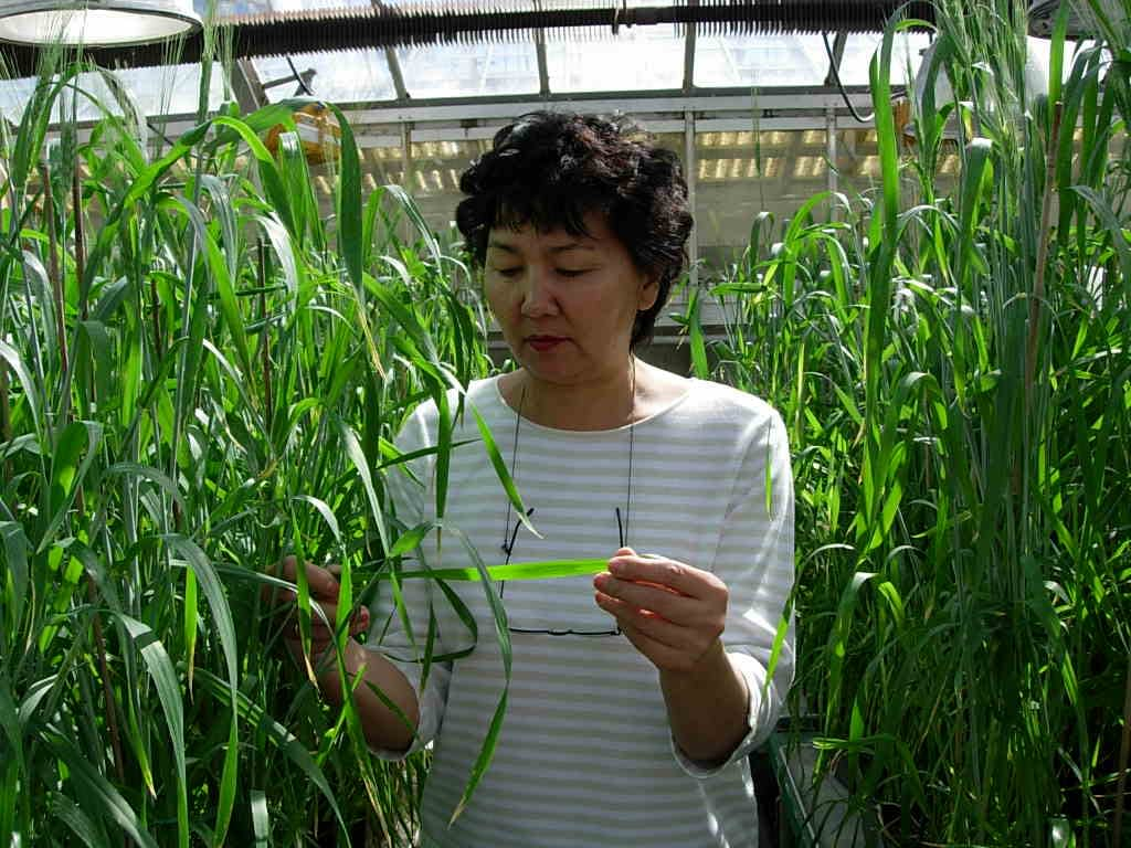 Evaluation of tan spot disease resistance in a greenhouse. (Photo: IPBB)