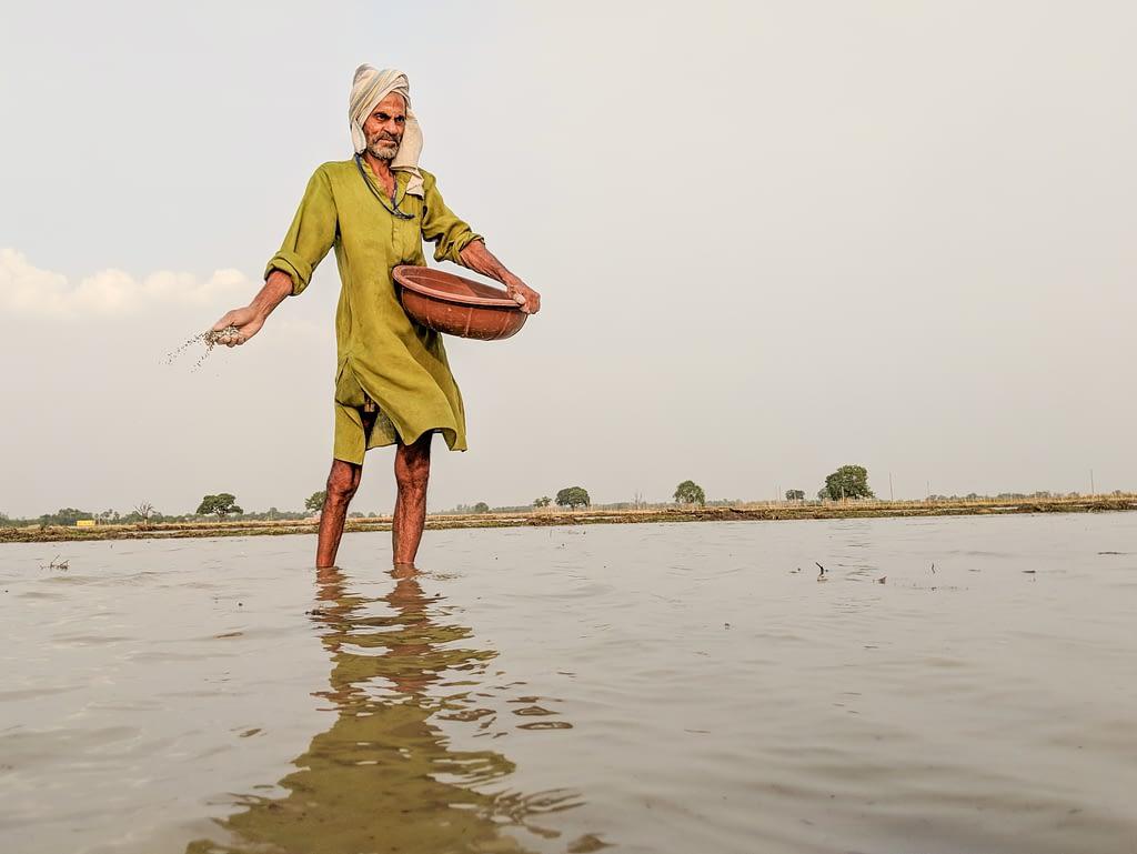 A farmer in the Ara district, in India's Bihar state, applies NPK fertilizer, composed primarily of nitrogen, phosphorus and potassium. (Photo: Dakshinamurthy Vedachalam/CIMMYT)
