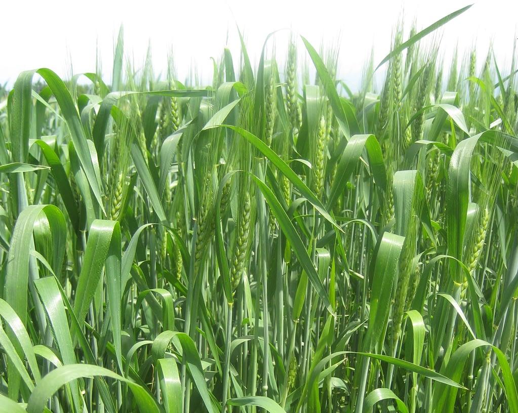 Tan spot-resistant wheat cultivar Tyngysh. (Photo: IPBB)