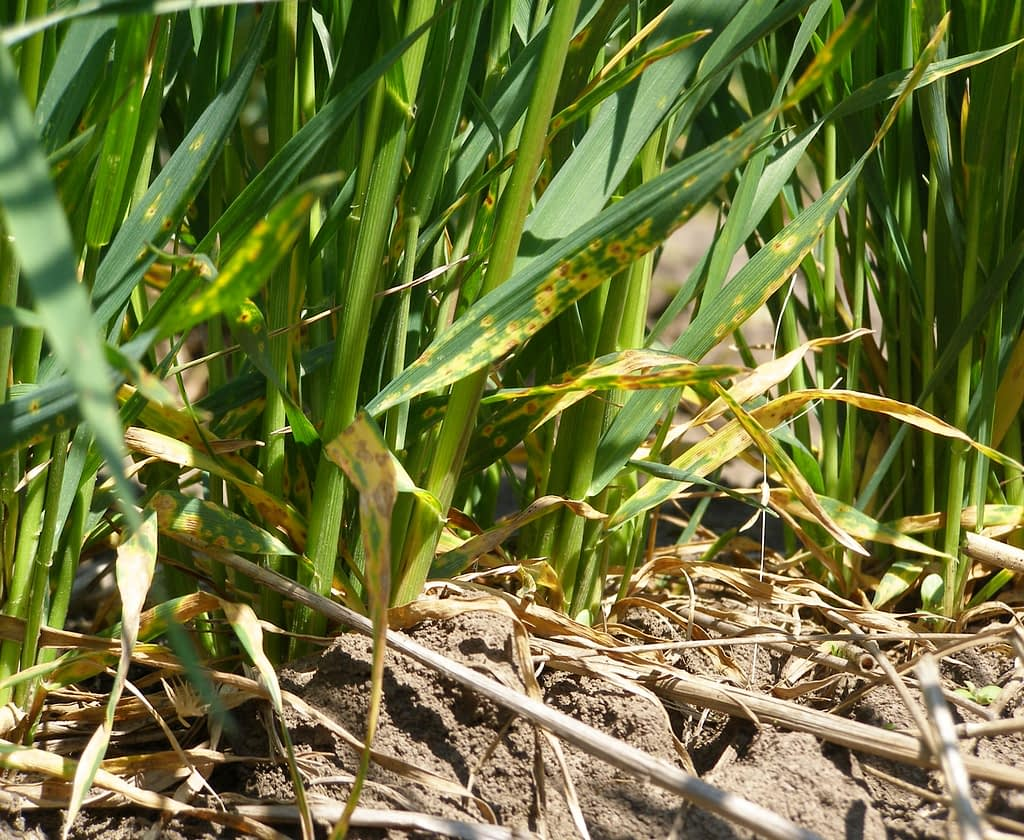 Tan spot, caused by Pyrenophora tritici-repentis on susceptible wheat cultivar Steklovidnaya 24. (Photo: IPBB)