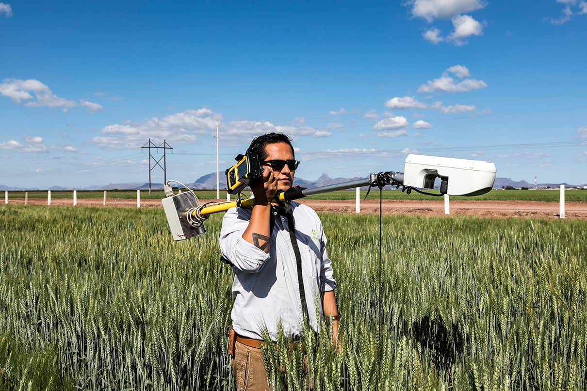 A researcher collects field data at CIMMYT's experiment station in Ciudad Obregón, Mexico. (Photo: Alfonso Cortés/CIMMYT)