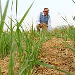 Wheat crop in conservation agriculture. (Photo: Vedachalam Dakshinamurthy/CIMMYT)