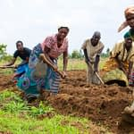 Farmers at the field school in Msambafumu, Malawi, begin preparing the soil for their next set of experiments. (Photo: Emma Orchardson/CIMMYT)
