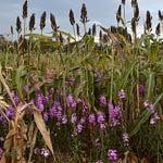 A sorghum field infested with Striga in Siaya County. (Photo: Joshua Masinde/CIMMYT)
