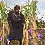 Norah Kayugi on a Striga-infested farm in Siaya County. (Photo: Joshua Masinde/CIMMYT)