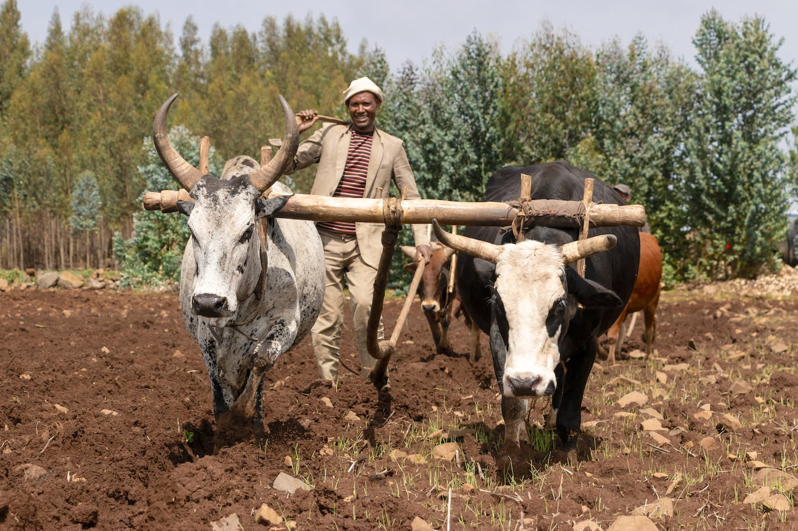 Mechanization could boost Ethiopian wheat production and provide youth with new job opportunities. (Photo: Gerardo Mejía/CIMMYT)