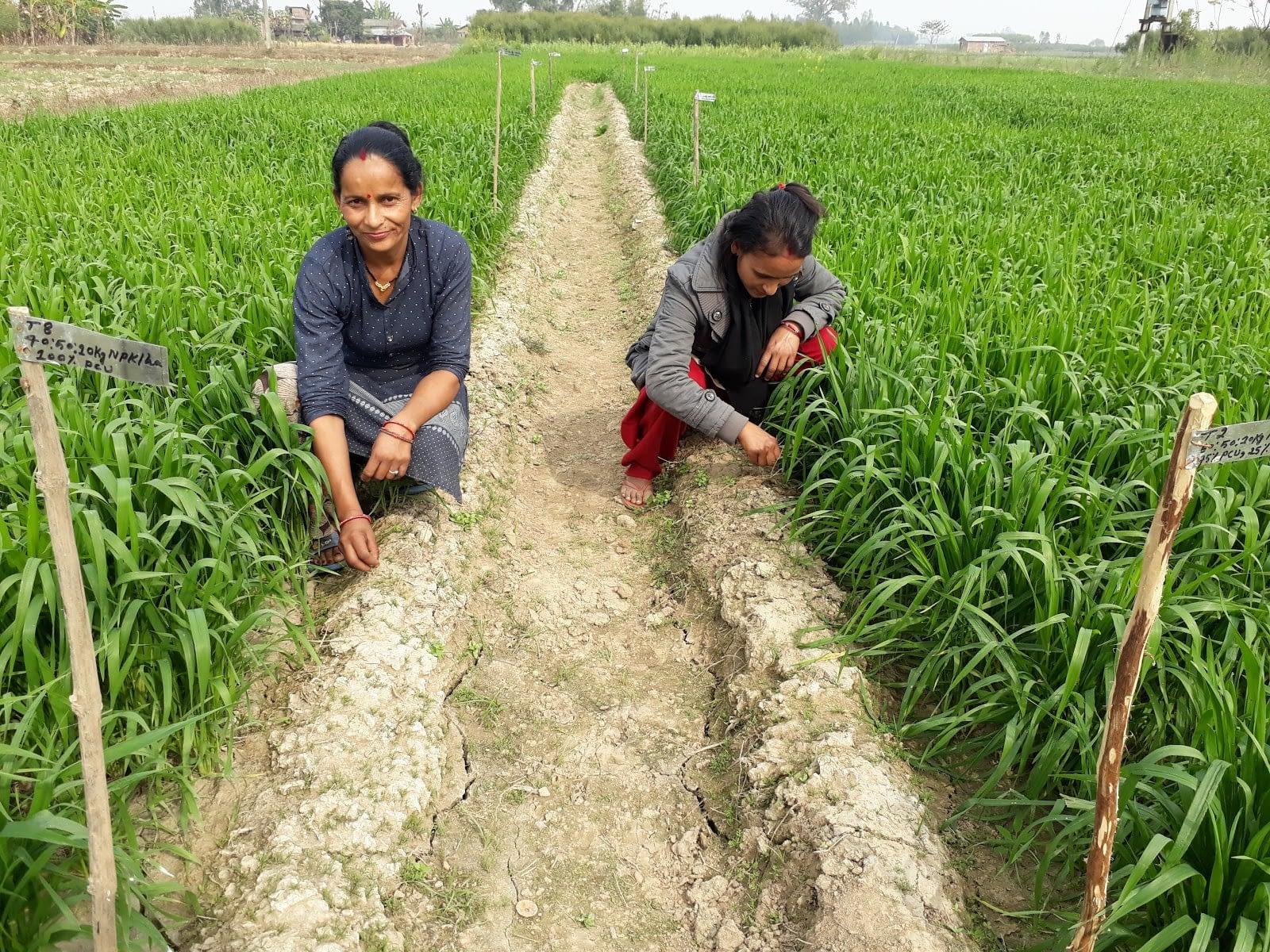 Farmers monitor wheat fields in Bardiya district, Nepal. (Photo: Surya B. Thapa/CIMMYT)