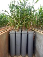 Mini-rhizotrons with maize plants sit at the root phenotyping facility. Photo: T. Durga/CIMMYT