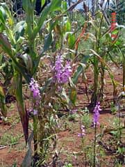 """Known locally as """"witchweed,"""" the parasitic plant Striga spp. casts no spells but uses needle-like tendrils to suck nutrients from maize roots. The weed is prevalent in Nyanza and Western Provinces of Kenya, where it grows on some 200,000 hectares and causes crop damage worth an estimated US$ 80 million per year. Photo: CIMMYT"""