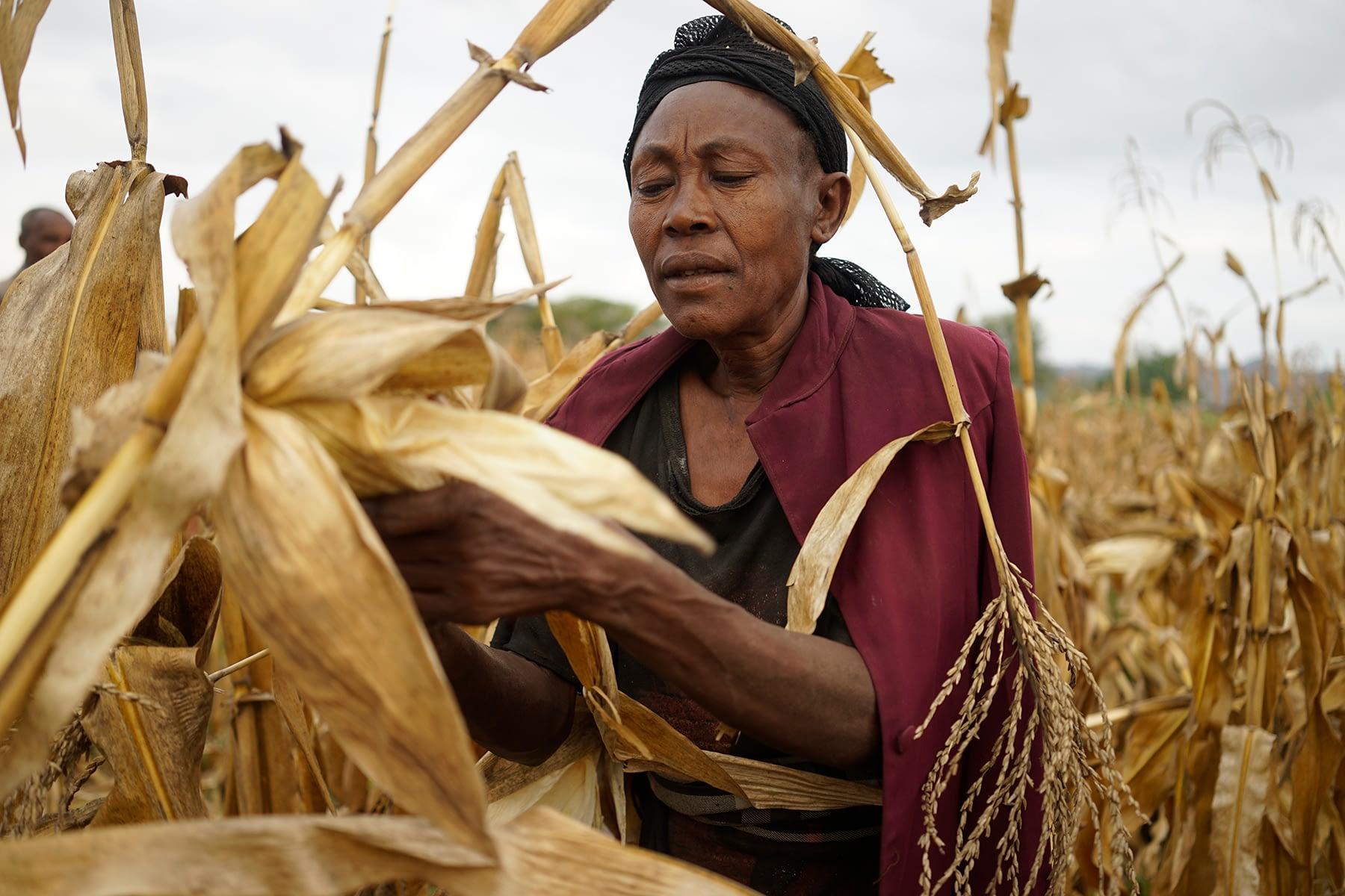 Grandmother harvests drought-tolerant maize in Lobu village, Koromo, Hawassa Zuria district, Ethiopia. (Photo: P. Lowe/CIMMYT)