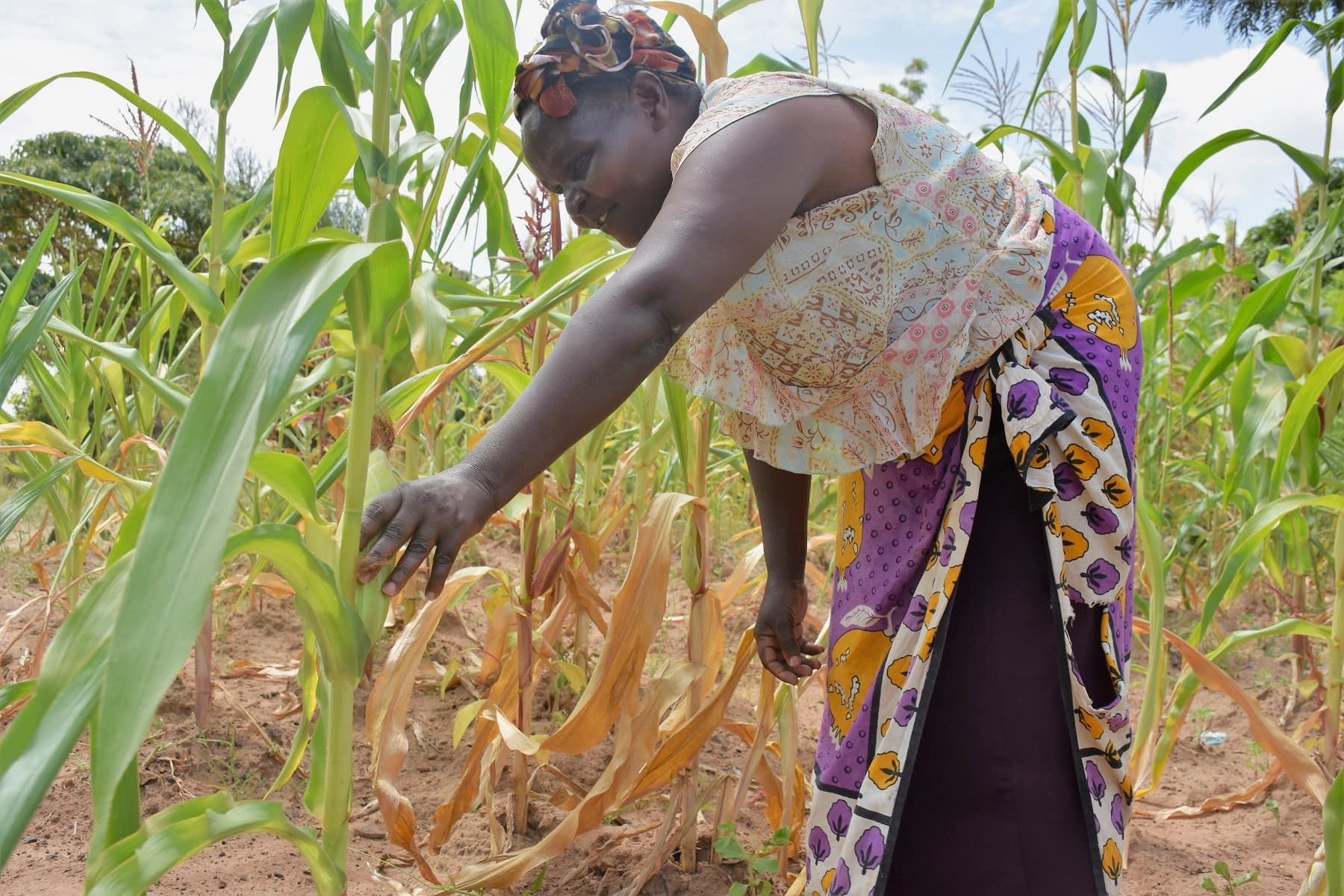 Mary Munini, a smallholder farmer in Vyulya, in Kenya's Machakos County, inspects her maize crop. She planted the farm-saved seed, which does not tolerate drought or severe heat, so she is expecting a massive crop loss this season. (Photo: Joshua Masinde/CIMMYT)