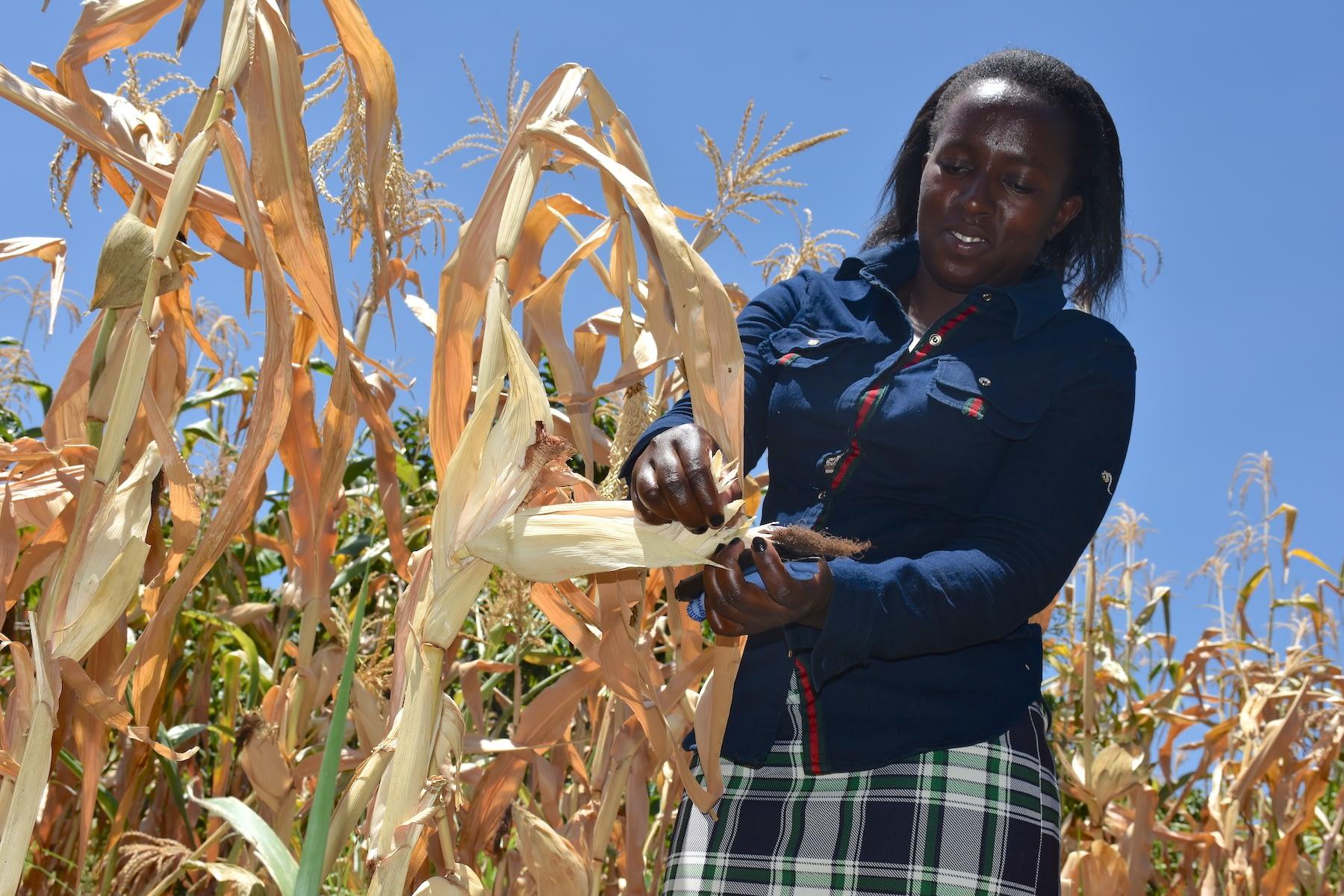 Tabitha Kamau checks the maize at her family's farm in Machakos County, Kenya. (Photo: Joshua Masinde/CIMMYT)