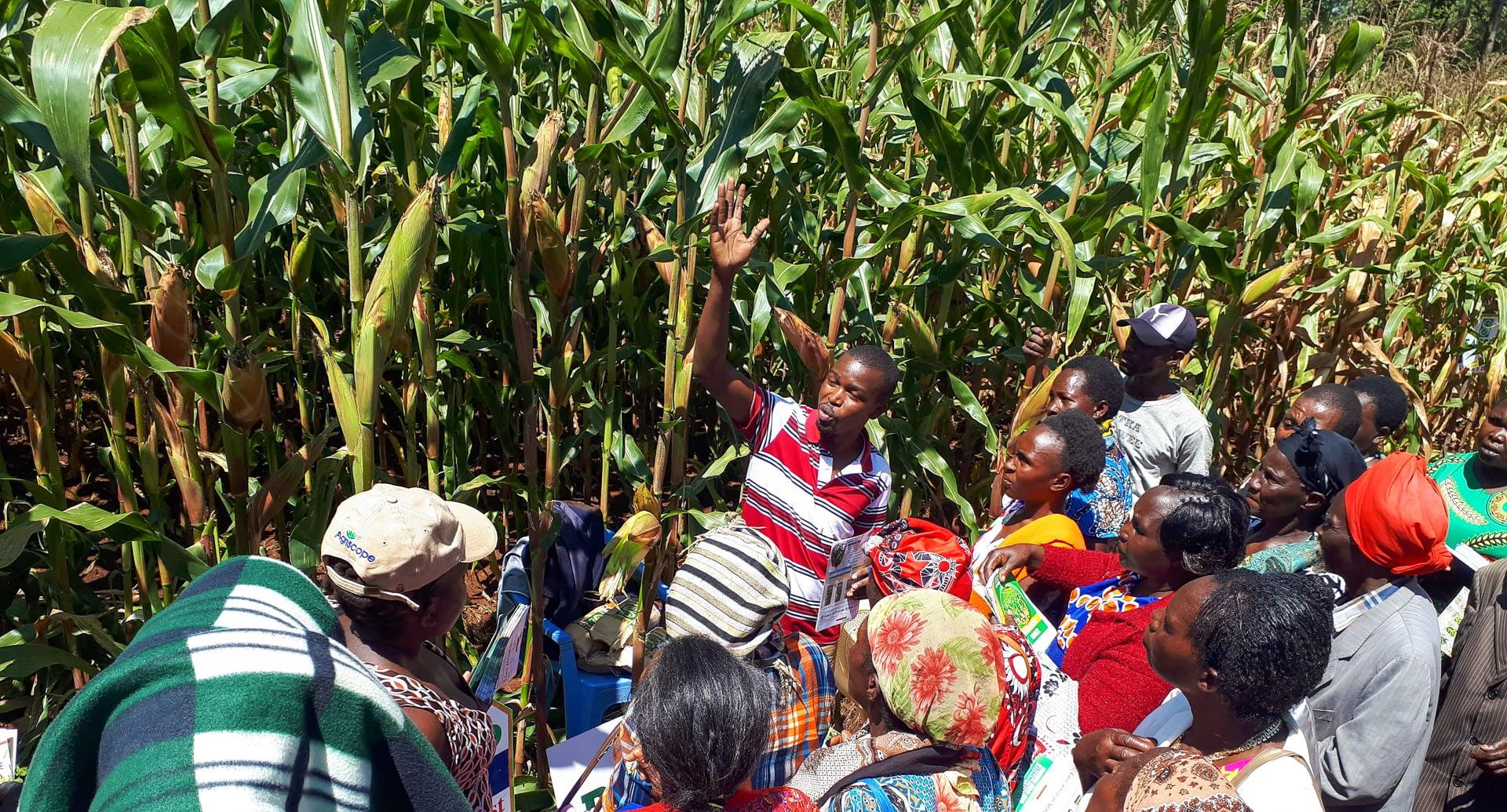 A seed company representative explains to farmers the merits of the variety on this plot. (Photo: Joshua Masinde/CIMMYT)