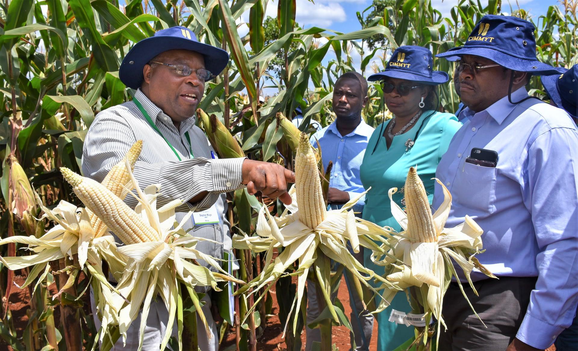 Stephen Mugo (left) shows grain filling to Felister Makini of KALRO and Oscar Magenya, from Kenya's Ministry of Agriculture. (Photo: Joshua Masinde/CIMMYT)