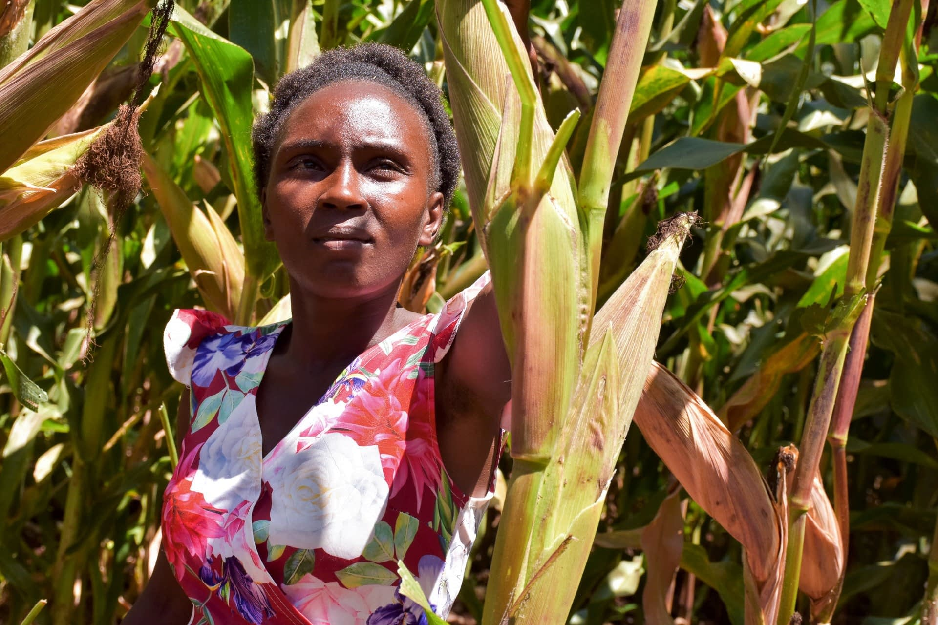 Nancy Wawira (29) stands among ripening maize cobs of high yielding, drought-tolerant maize varieties on a demonstration farm in Embu County, Kenya. Involving young people like Wawira helps to accelerate the adoption of improved stress-tolerant maize varieties. (Photo: Joshua Masinde/CIMMYT)