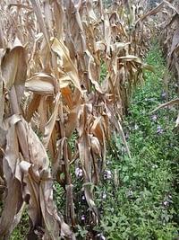 A Striga infested maize field in Tororo, Uganda.