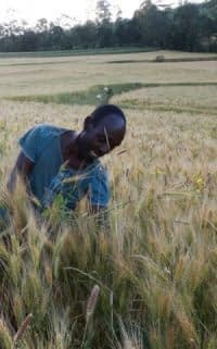 Worker rogueing a wheat seed production plot. Photo: CIMMYT/A.Habtamu.